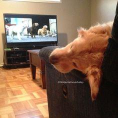 I love homeward bound! www.goldenbailey.com #goldenretrieverbailey #baileynebbia #goldenretriever #dog #puppy