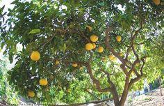 Lo sapevate che il pompelmo è un frutto...pigro?  L'albero di pompelmo passa infatti da 4 a 6 anni in indolenza senza mai produrre frutti, ma una volta iniziata la produzione è esuberante. Un singolo albero può infatti arrivare a produrre da 600 a 700 Kg di frutti all'anno