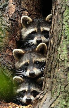"Raccoon ""He's gone right?"" Raccoon ""Ya is he?"" Raccoon ""I think so, ya I think. Cute Creatures, Beautiful Creatures, Animals Beautiful, Unique Animals, Woodland Creatures, Animals Amazing, Nature Animals, Animals And Pets, Wild Animals"