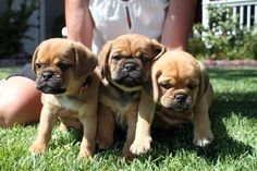 Puggles Puggle Puppies For Sale, Cute Puppies, Hotdog Dog, Beagle Mix, Cute Baby Animals, Rescue Dogs, Dog Days, Pugs, Fur Babies