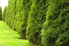 Techny Arborvitae ~ planted eight June 2016