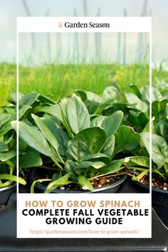 The Ultimate Guide on How to Grow Spinach | Growing your own food is satisfying because you know naturally grown food is healthy and chemical-free. Growing your own spinach will ensure your vegetables are clean and healthy. So get to growing spinach now with this easy growing guide. Easy Vegetables To Grow, Fall Vegetables, Growing Spinach, Grow Your Own Food, Edible Garden, Healthy, Plants, Free, Vegetable Garden