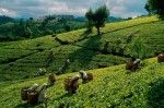 What to Look For In a Quality Tea