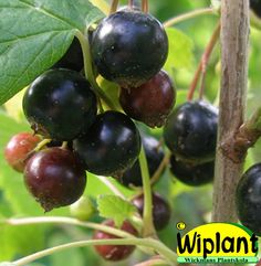 Ribes nigrum 'Ola', svarta vinbär. FinE-sort. Mycket grenar, långa klasar. Rikgivande. Höjd: 1,4 m.