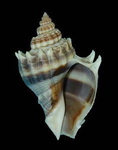King's Crown Conch