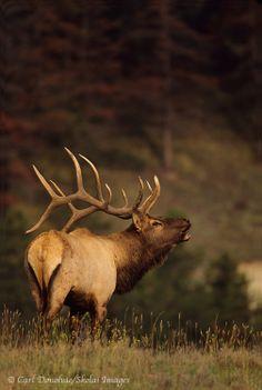 Bull Elk Photo, photo licensing stock usage rights Elk Hunting Tips, Hunting Art, Deer Hunting, Elk Images, Elk Pictures, Wild Animals Photography, Wildlife Photography, Elk Bugle, Cow Elk