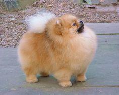Immagine di http://www.bossprice.com/bootstrap/productphotos/Pomeranian_Dog.jpg.