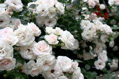 Аспирин Роуз, Aspirin Rose,Tantau, 1997