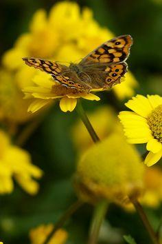 Golden Butterfly & Yellow Flowers