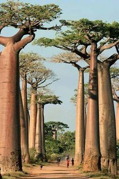 Madagascar- Baobab trees hold a lot of water in their trunks.
