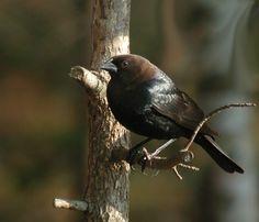 Cowbird, frequent