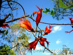 But's wing coral tree