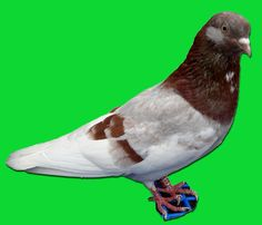 Porumbei de agrement - Rase Parrot, Bird, Animals, Parrot Bird, Animales, Animaux, Birds, Animal, Animais