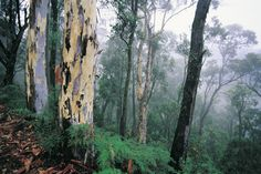 Forest situated alongside Great Alpine Road, Victoria. Terra Australis, European Map, Land Of Oz, Australia Day, Capital City, View Image, Holy Spirit, Continents, Day Trips