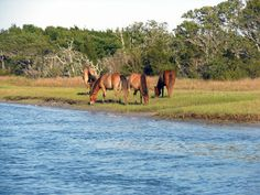 Horses on Carrot Island off Taylor's Creek in Beaufort NC - just one of many views from 2501 Front Street Beaufort NC
