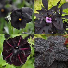Clockwise from top left: Black Magic Viola, Sweet Caroline Purple Sweet Potato Vine, Colorblaze Dark Star Coleus and Pinstripe Petunia.