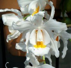 Cymbidium speciosissimum ~ Orchidee