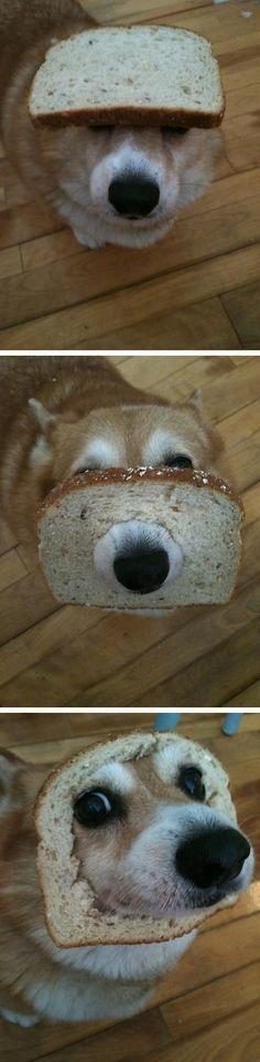 The Corgi Who Got Stuck in a Slice of Bread | The 40 Most Important Corgis Of 2015