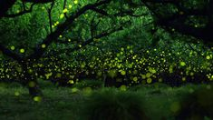 Long-exposure photograph of fireflies in a forested area near Nagoya, Japan (© Yume Cyan) - 2013-10-18