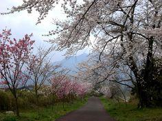 菰野町大羽根園地区 早朝散歩   平成25年4月2日撮影