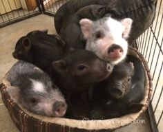 Piggy pile  Piglets for sale  Charming Mini Pigs