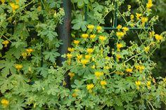 Tropaeolum peregrinum -kanariekers: 1-jarige klimplant kan 5 m. hoog worden, bloemen geel (en eetbaar) juli-okt. zaai april buiten en mei uitplanten, houd van zon of halfzon.