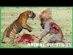 Lion vs Tiger Real Fights 2016 | Lion vs Tiger Attack Compilations | Ani...