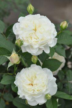 Beautiful Rose Flowers, Pretty Flowers, Beautiful Gardens, White Roses, White Flowers, Red Roses, Most Popular Flowers, Asian Garden, Growing Roses