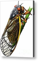 Periodical Cicada by Roger Hall - Periodical Cicada Photograph - Periodical Cicada Fine Art Prints and Posters for Sale