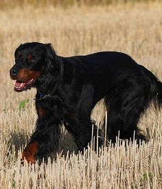 The Gordon Setter is a loyal, polite and cheerful breed that makes an excellent family companion. Black Dogs Breeds, Large Dog Breeds, Large Dogs, Best Dogs For Families, All Dogs, Dogs And Puppies, Best Family Dog Breeds, Family Dogs, Gordon Setter