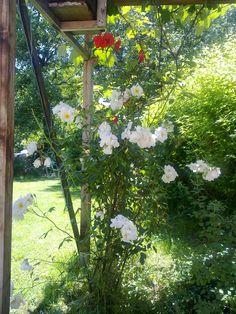 Ein (Rosen-)Paar 22.6.2016 Plants, Couple, Flowers, Garten, Flora, Plant, Planting