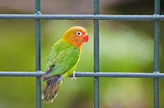 City Parrot by Amar Rai on 500px - lovebird