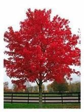 Front yard tree GREAT FOR FALL COLOR! October Glory Red Maple - Grows high with a spread. Tolerant of many soils, but prefers slightly acid and moist conditions. Plant in partial shade to full sun. Trees And Shrubs, Flowering Trees, Trees To Plant, Bonsai Trees, Trees With Red Leaves, Trees With Flowers, Acer Rubrum, Red Maple Tree, Red Tree