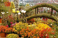 The Beauty of Kiku: Japanese Chrysanthemums at the New York Botanical Garden