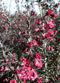 Leptospermum scoparium 'Red Damask' Familia:Myrtaceae Origen:S.E. Australia/N.Zelanda Compacta Perenne Época/Floración:III/VI Color floración:Leptospermum scoparium 'Red Damask' Altura (cm): 150/200 Anchura (cm): 100/150 Temperatura: -8ºC Zona 8 A pleno sol Muy resistente a la sequedad