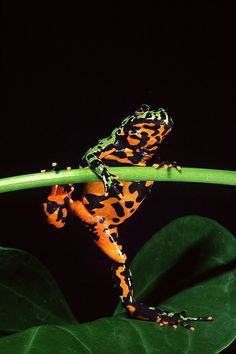 "Species Highlight on ""Fire Bellied Toad"""