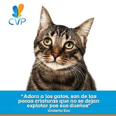 Amarlos cada día más. Los gatos son auténticos, genuinos y de carácter.  #FraseDelDíaCVP. www.clinicaveterinariapoblado.com. Imagen vía https://goo.gl/5vzpUW  #ServiciosCVP  #Mascotas #CVP #PetLovers #Pets #Perros #Gatos #Dogs #Cats #Mascotagram #Petstagram #PetShop #DogLovers #CatLovers #NoAlMaltratoAnimal #LovePets #Instapet #ILoveMyPet #DogLife #Veterinaria