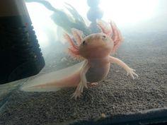 Axel the axolotl