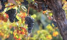 Woodinville Wine Country | Rhône grapes gaining larger niche at ...