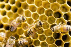 Peste Americana: sequestrate 2 milioni e mezzo di api in provincia di Taranto