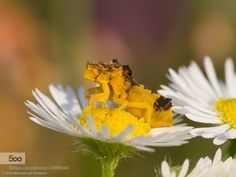 Jagged Ambush Bug by Moneycue. Please Like http://fb.me/go4photos and Follow @go4fotos Thank You. :-)