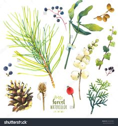 Watercolor Illustration With Branches, Cone And Berries. Set Of Winter And Autumn Forest Plants. Collection Of Herbarium Garden - 342207881 : Shutterstock