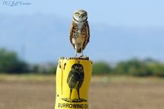 Burrowing Owl (Athene cunicularia) on post. Photo by Jeff Cartier.