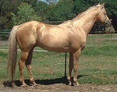 Tintaras Callisto Australian Stock Horse stallion