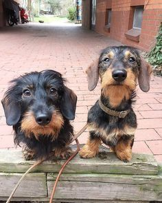 Dachshund Products, Apparel and Gifts - Dackel - Puppies Weenie Dogs, Dachshund Puppies, Dachshund Love, Cute Puppies, Cute Dogs, Dogs And Puppies, Daschund, Dachshund Gifts, Dog Breeds Little
