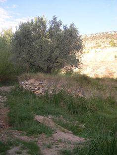 ya ha empezado la campaña de la oliva en el pueblo ya que las pocas olivas que quedaron después de las pedregadas de este año, están maduras y muchas en el suelo, os dejo fotografía de una olivera de la solana