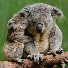 mother and baby koala Amazing Animals, Animals Beautiful, Cute Funny Animals, Cute Baby Animals, Nature Animals, Animals And Pets, Wild Animals, Animals Tattoo, Australian Animals