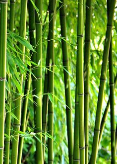 """Bamboo"" by Gabi Siebenhühner, Bergisch Gladbach // // Imagekind.com -- Buy stunning fine art prints, framed prints and canvas prints directly from independent working artists and photographers."