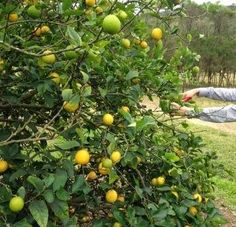 Ford's Farm at Wisemans Ferry - Mandarin and Citrus Fruit picking - winter months Cyprus Food, Fruit Picking, Family Weekend, For Love And Lemons, Things To Do, Pumpkin, Island, Photo And Video, Outdoor