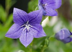 Balloon Flower (Platycodon grandiflorus) care and propagation instructions